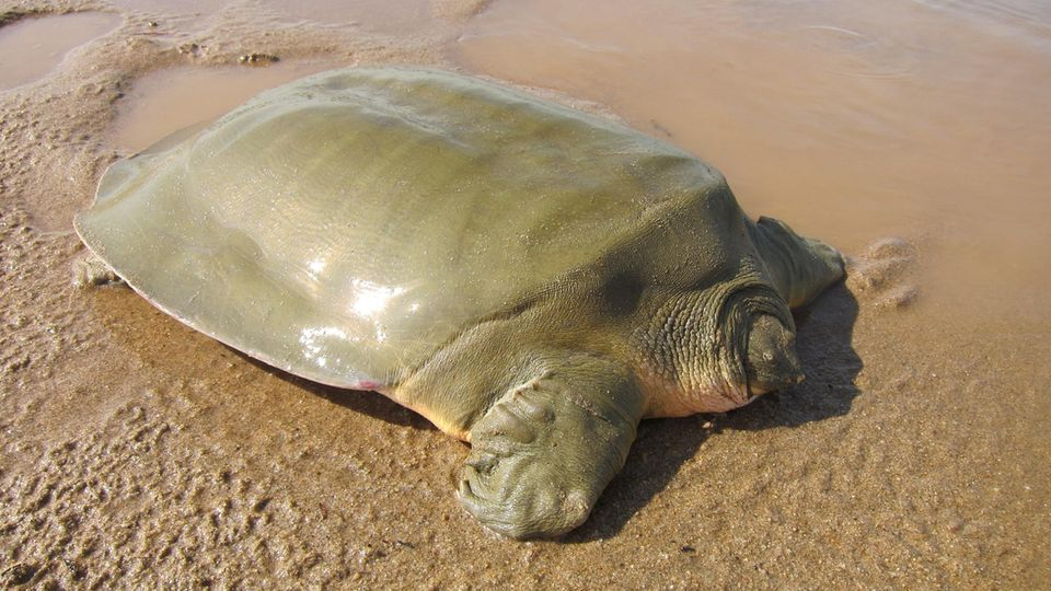 Nicht schön, aber selten: Jangtse-Riesenweichschildkröte