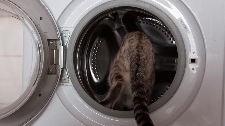 Katze klettert in die Waschmaschine.