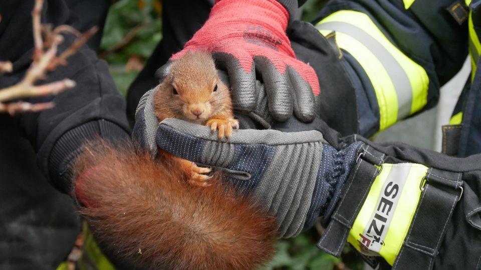 Eichhörnchen gerettet von der Feuerwehr Celle