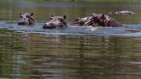 Mit vier Tieren fing es 1981 an, mittlerweile leben bis zu 80 Flusspferde in Kolumbien