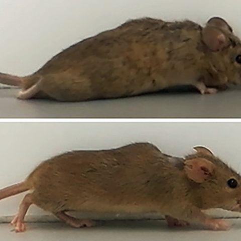 Gentechnik: Hoffnung für Querschnittsgelähmte – deutsche Forscher machen gelähmte Mäuse wieder mobil