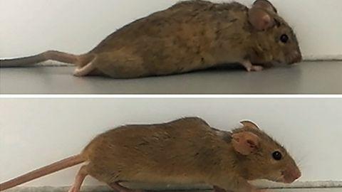 ZuBeginn kann die Maus die Hinterläufe nur hinter sich herziehen, nach ein paar Wochen sind die Beine wieder funktional.