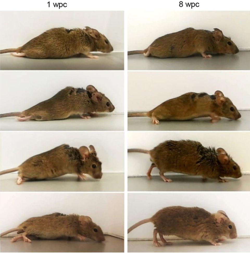 Langsam kann die Maus wiederdie Hinterläufe nutzen.