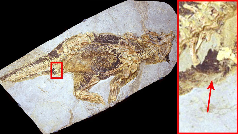 Der vor etwa 100 Millionen lebendePsittacosaurus wurde in China gefunden