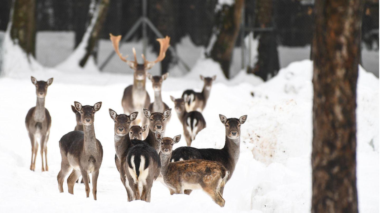 Sie stehen im Schnee und schauen in Richtung des Fotografen:Ein Hirsch mit Damwildkühen im Gehege am Affenberg bei Salem in Baden-Württemberg.