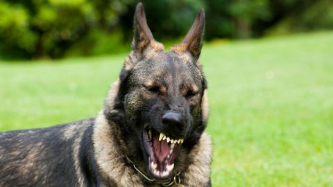 Deutscher Schäferhund zeigt die Zähne