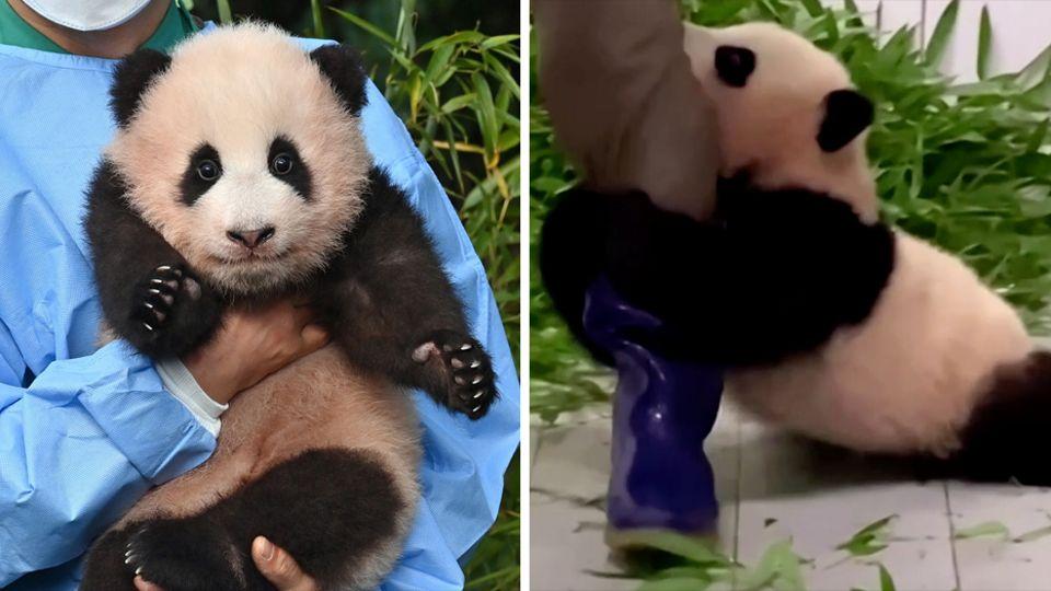 Links sitzt ein Panda-Junges im Arm eines Tierpflegers, rechts klammert es sich an den lila Gummistiefel und lässt sich ziehen