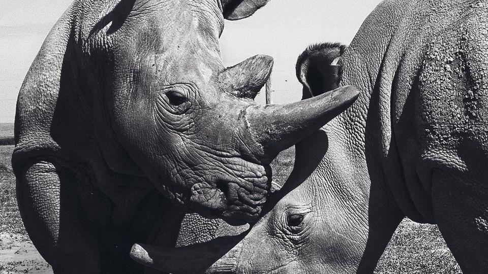Zwei Nashörner