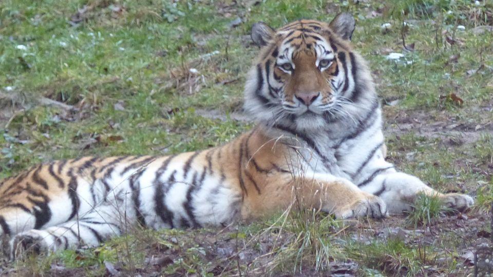 Tigerweibchen Kimberly liegt in ihrem Gehege im Zoo Neuwied.