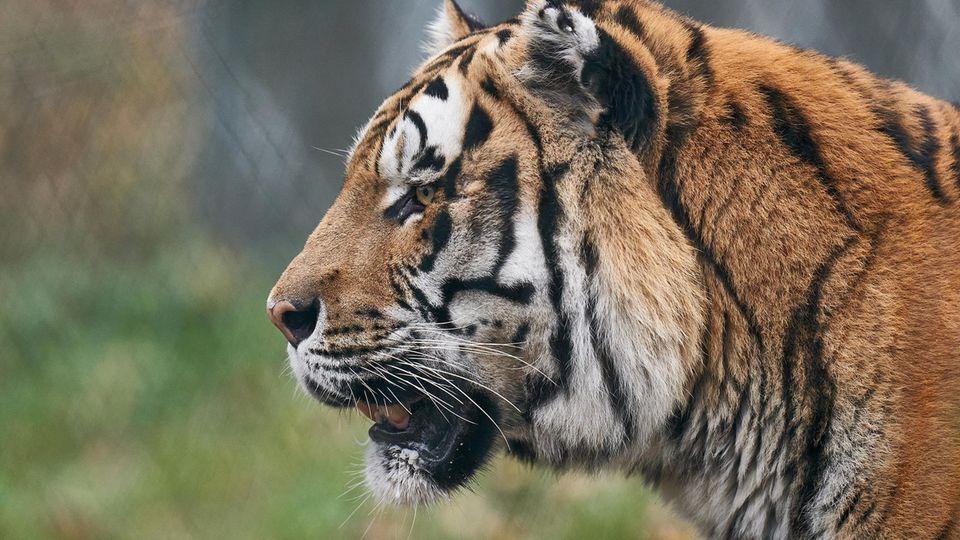 Tigermännchen Ivo steht in seinem Gehege im Zoo Neuwied.