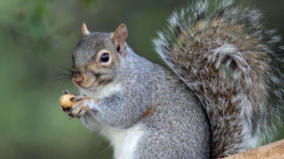 Ein Grauhörnchen hält eine Erdnuss in den Pfötchen