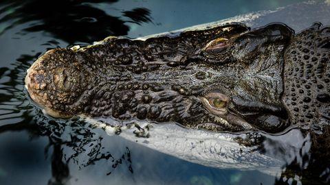 Der Kopf eines Krokodils