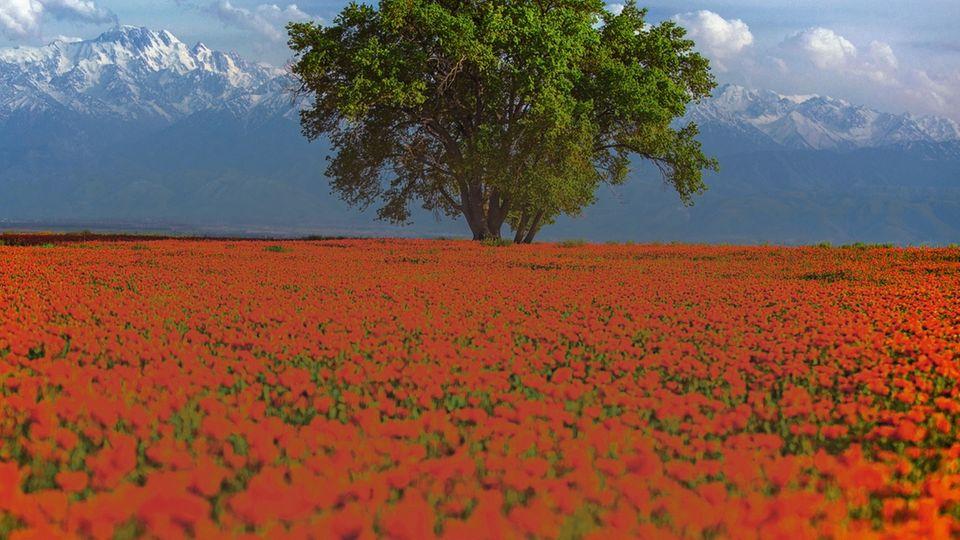 Ein Mohnblumenfeld in Kasachstan