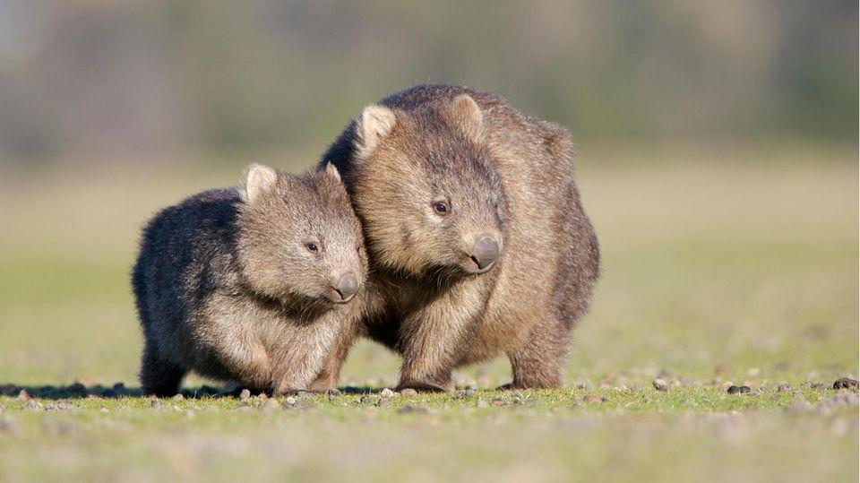 Ein Wombat und sein Junges auf einer Wiese