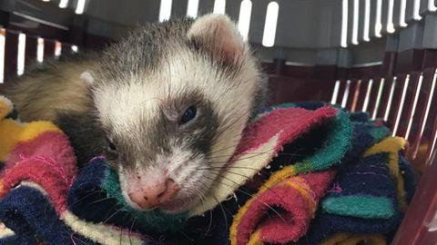 Die Tierärzte hatten wenig Hoffnung für den kleinen Bandit, doch das Frettchen biss sich zurück ins Leben