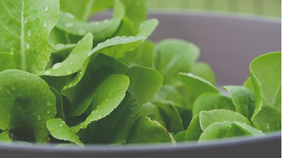 Forscher züchten ganz besonderen Spinat