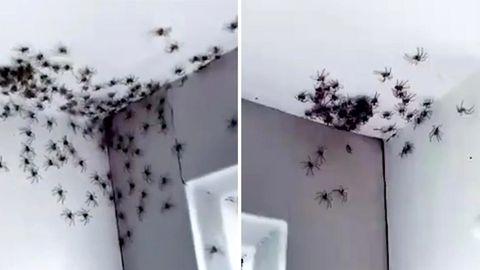 Spinnen-Invasion in Australien