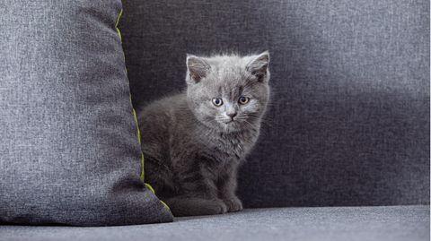 Geklonte Katze in China soll bei Krankheiten helfen