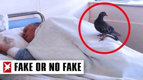 Faktencheck: Taube besucht kranken Mann