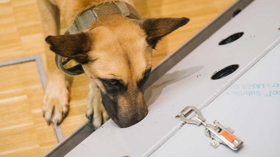 Coronavirus: Schäferhund kann Covid-Infizierte erschnüffeln (Video)