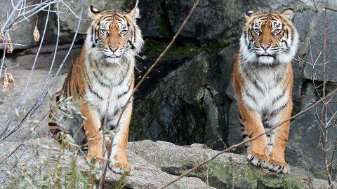 Zwei Sumatra-Tiger im Tierpark in Berlin. Die Art ist vom Aussterben bedroht.