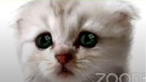 Ein Fenster der Videocall-Software Zoom zeigt den Kopf eines weißen Kätzchens mit blauen Augen