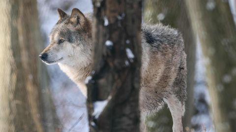 Ein Wolf hinter einem Baum