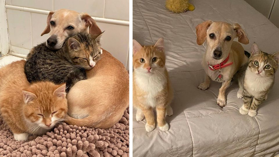 Hündin wird Adoptiv-Mutter für Katzenbabys