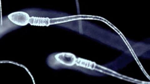 Spermien vergiften ihre Konkurrenten und machen sie orientierungslos