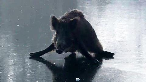 Plön in Schleswig-Holstein: Wildschwein rutscht immer wieder auf Eis aus