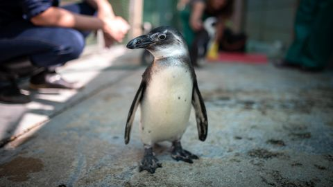 Afrikanischer Pinguin Mambo