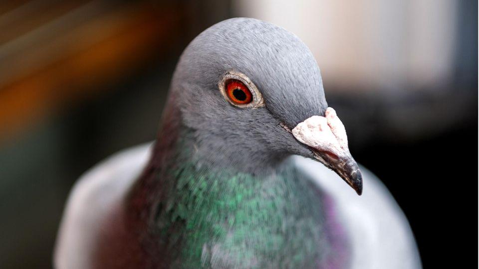 Ein Porträtfoto einer blau-lilafarbenen Brieftaube