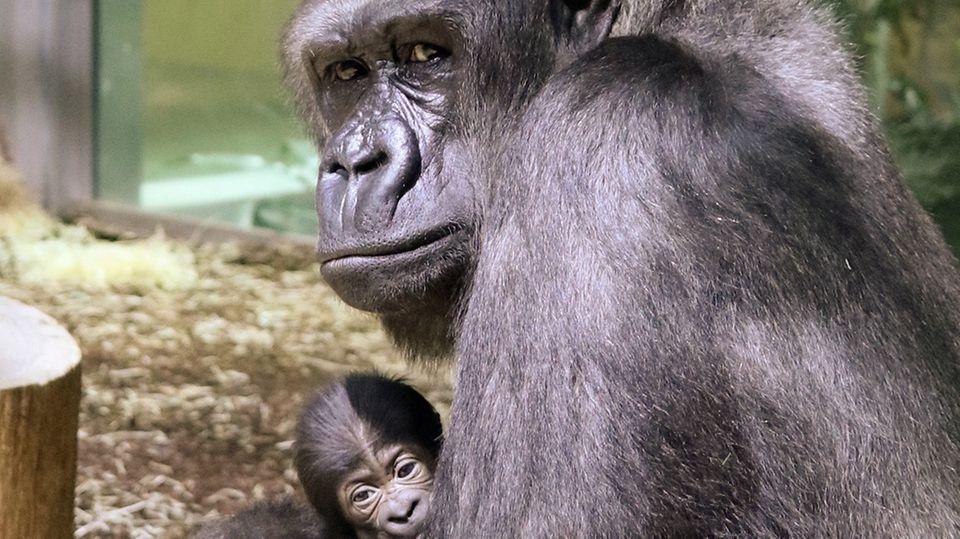 Gorilla-Mutter Bibi hält ihr neugeborenes Baby auf dem Arm
