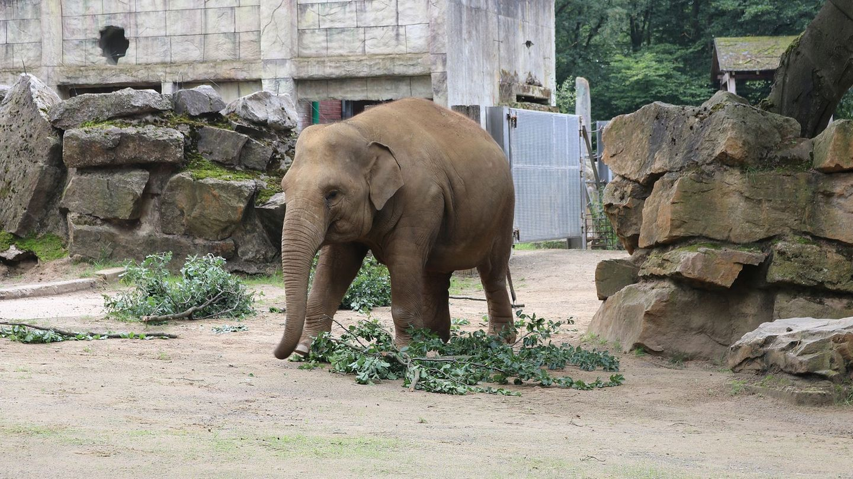 Junger Elefantenbulle im Zoo Osnabrück.