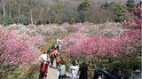 Nanjing City, China.Besucher drängen auf das Pflaumenblütenfest in der Stadt im östlichen Teil des Landes. In Nanjing liegtim Januar und Anfang Februar oft noch Schnee, aber wenn die Temperaturen dann ab Mitte des Monats ansteigen, beginnen die Pflaumenbäume zu blühen.