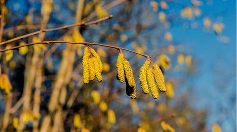 Pollenallergiker müssen sich auf höhere Belastung einstellen