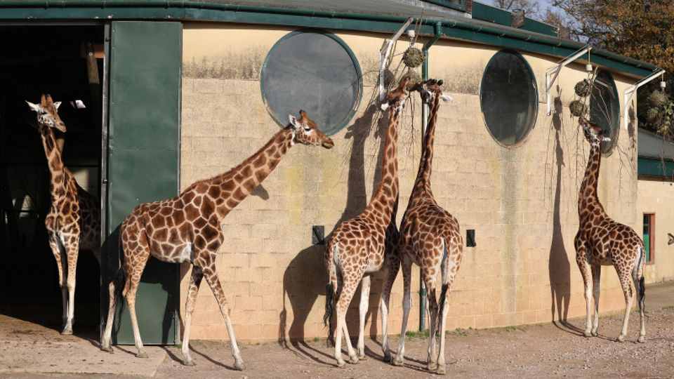 Giraffen im Winchester Zoo