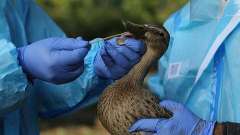 Medizinisches Personal der indischen Wildtierbehörde entnehmen einen Abstrich von einer Ente im Manda Park