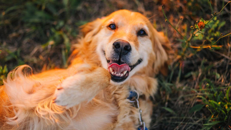 Ein Golden Retriever, auf dem Rücken liegend, fröhlicher Gesichtsausdruck