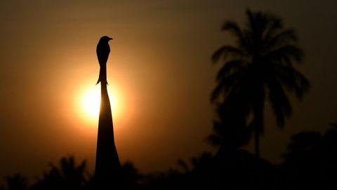 Colombo, Sri Lanka. Ein Vogel genießt die aufgehende Sonne inPiliyandala, einem Außenbezirk der Hauptstadt.