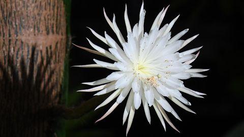 Eine weiße Blüte mit schlanken, weißen Blütenblättern und gelblichen Zentrum hängt an einem bräunlich gemusterten Stamm