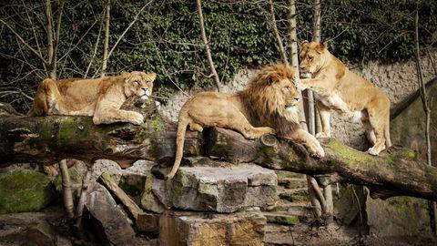 Löwen in einem Zoo