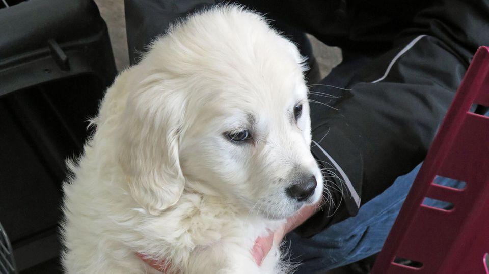Eine Hundewelpe wird aus einem Transportkasten gehoben