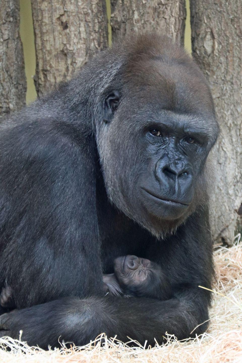Gorilla-Mutter Bibi mit ihrem Nachwuchs