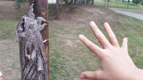 Eine riesige Motte sitzt an einem Wanderstock