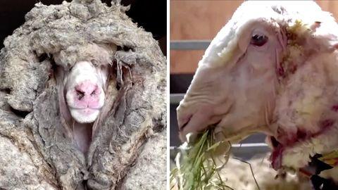 In der linken Bildhälfte ist ein Schaf mit einer großen Menge Wolle zu sehen, rechts ist es frisch geschoren