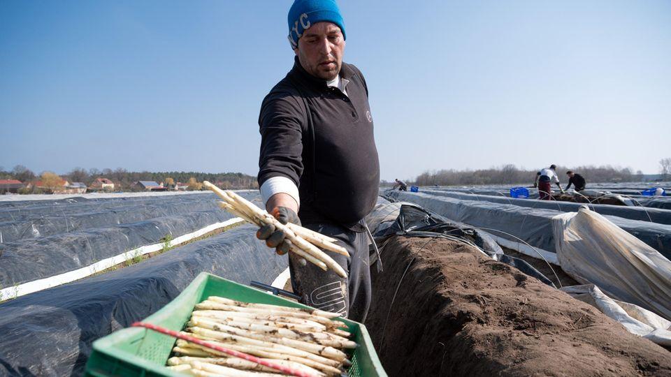 Drohende Grenzschließungen: Keine Arbeiter, kein Spargel: Warum das Lieblingsgemüse der Deutschen auf dem Feld verrotten könnte