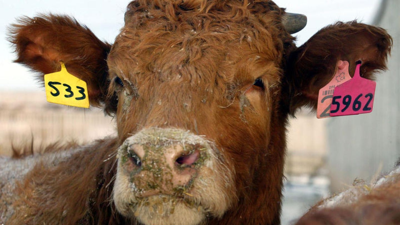 Eine Kuh schaut aus einem Pferch auf einem Futterplatz in der Nähe von Airdrie, Alberta, Kanada