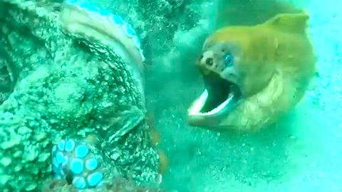 Angriff aus dem Hinterhalt: Bissige Muräne attackiert Oktopus