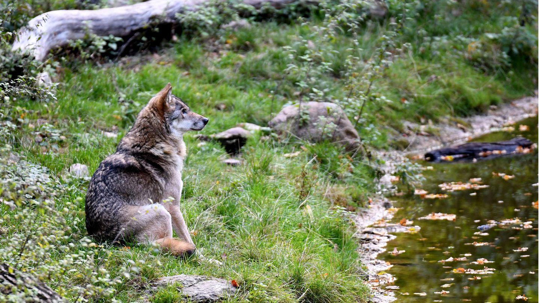 Nachrichten aus Deutschland –Niedersachsen / Wolf